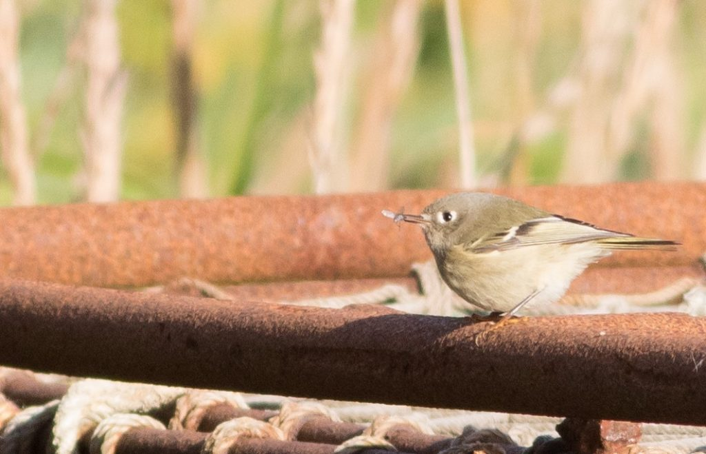Ruby crowned Kinglet by Doug Gochfeld 1 1024x659 - Ruby-crowned Kinglet