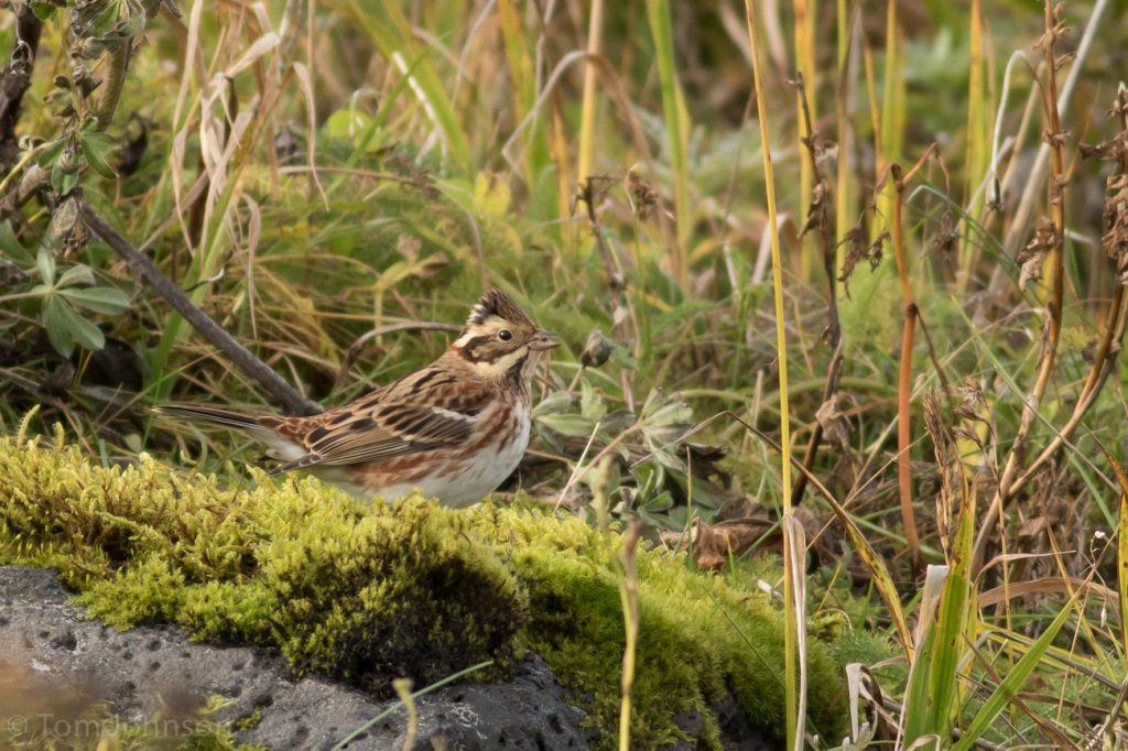 Rustic Bunting by Tom Johnson 1024x682 - Rustic Bunting