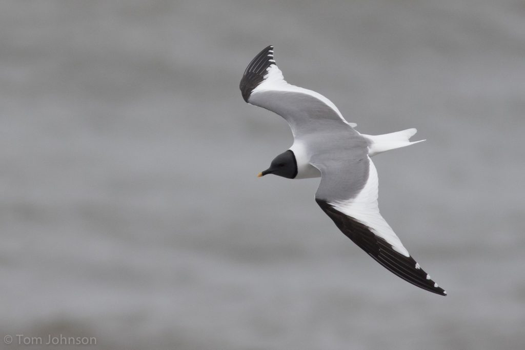 Sabines Gull by Tom Johnson 1024x682 - Sabine's Gull