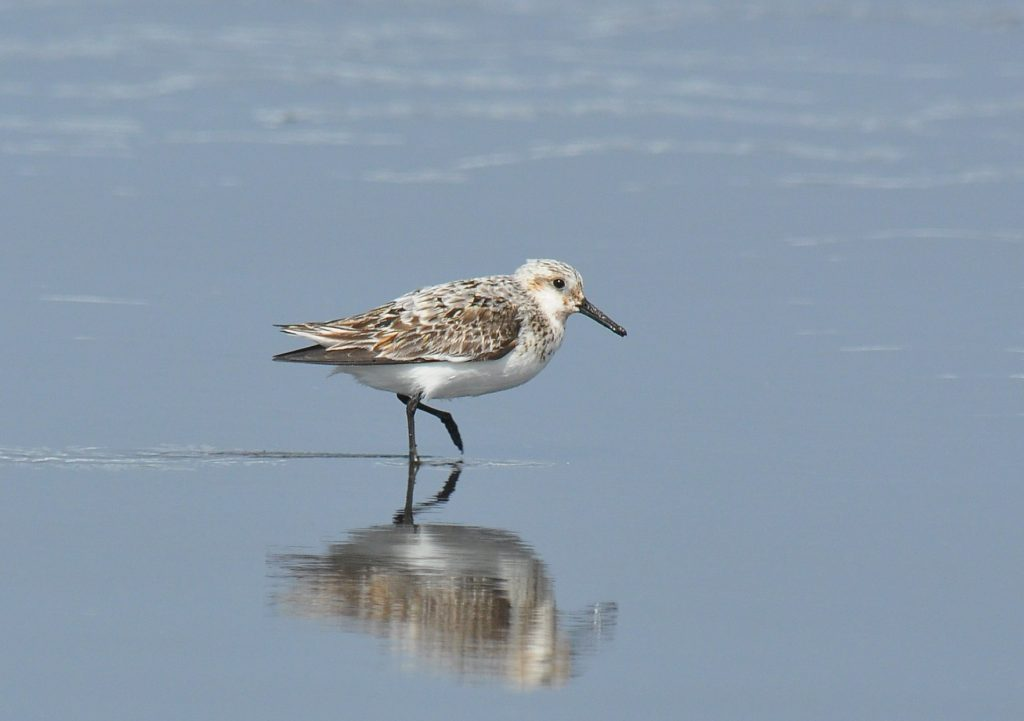 Sanderling by Ryan P. ODonnell 1024x721 - Sanderling