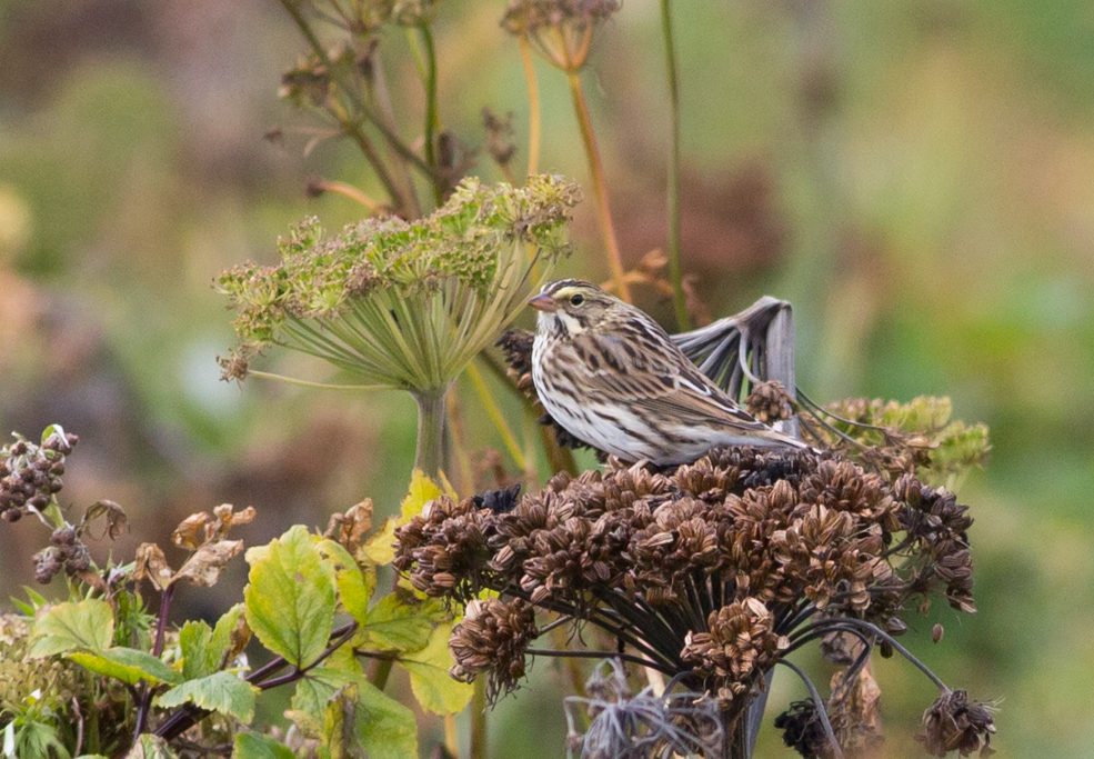 Savannah Sparrow by Doug Gochfeld - Savannah Sparrow