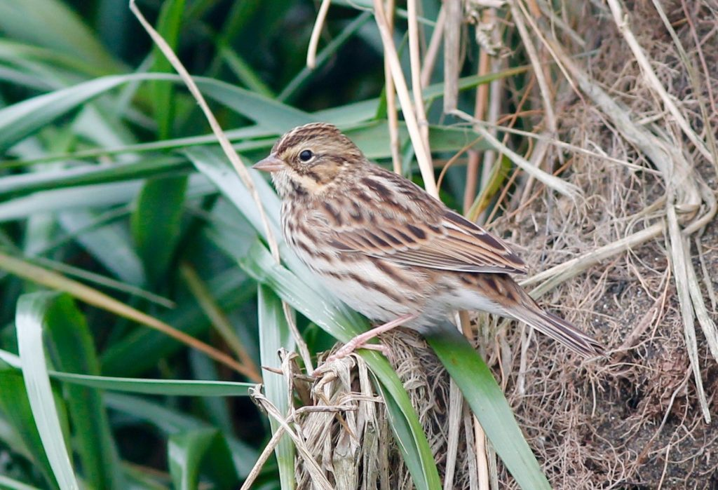 Savannah Sparrow by Stephan Lorenz 1024x699 - Savannah Sparrow