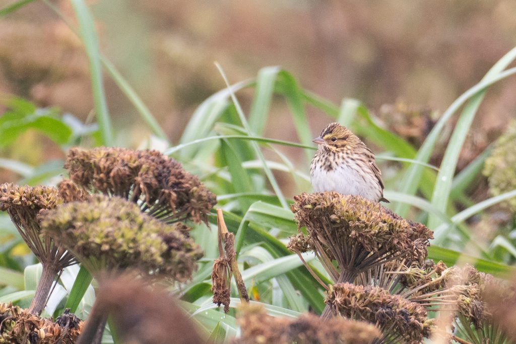 Savannah Sparrow by Sulli Gibson 1024x683 - Savannah Sparrow
