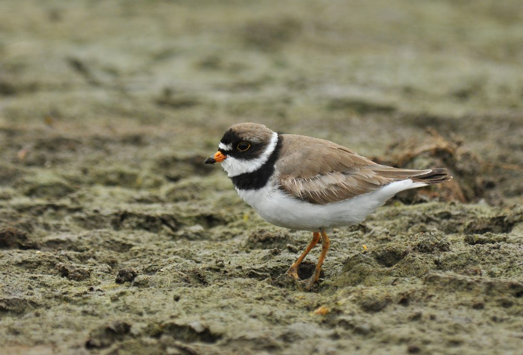 Semipalmated Plover 2 Ryan P. ODonnell 1024x695 - Semipalmated Plover