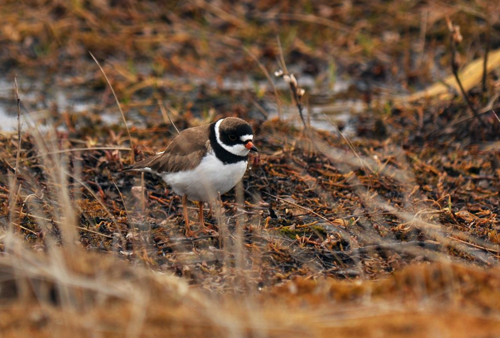 Semipalmated Plover by Ryan P. ODonnell 1024x692 - Semipalmated Plover