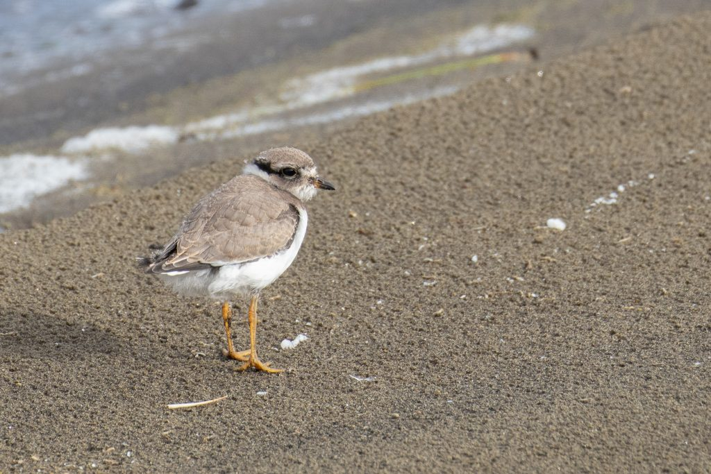 Semipalmated Plover by Sulli Gibson 1024x683 - Semipalmated Plover