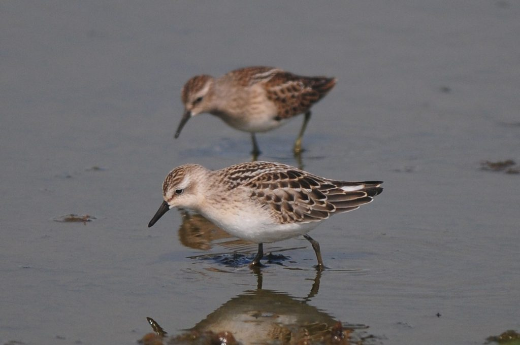 Semipalmated Sandpiper by Cory Gregory 1024x680 - Semipalmated Sandpiper