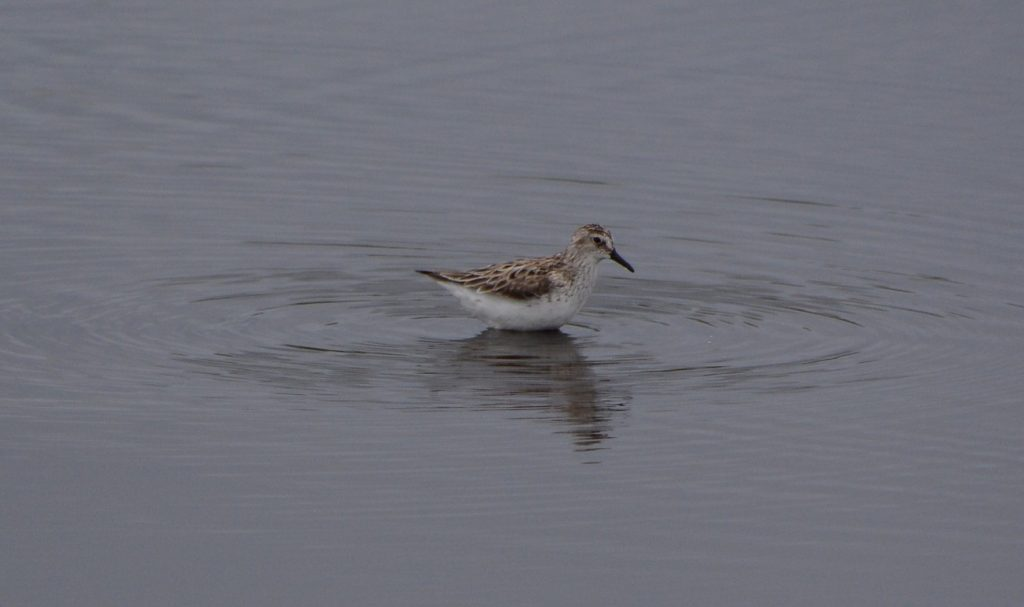 Semipalmated Sandpiper by Nat Drumheller 1024x607 - Semipalmated Sandpiper