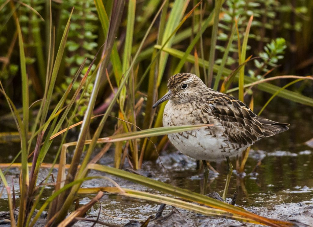 Sharp tailed Sandpiper by Claudia Brasileiro 1 1024x743 - Sharp-tailed Sandpiper