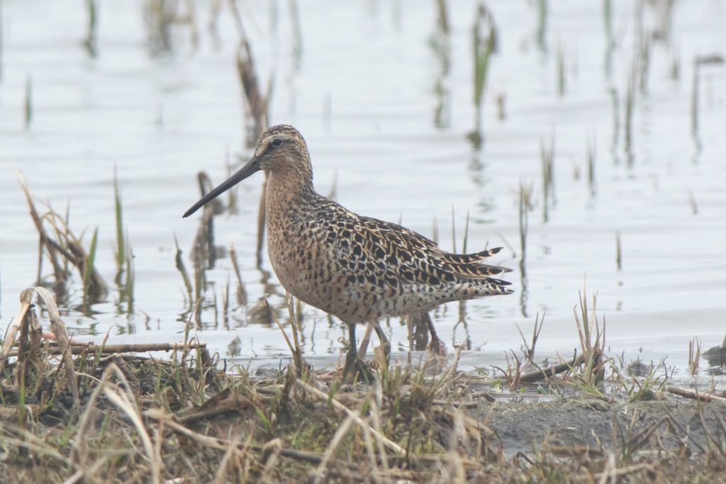 Short billed Dowitcher by Cory Gregory 1024x683 - Short-billed Dowitcher