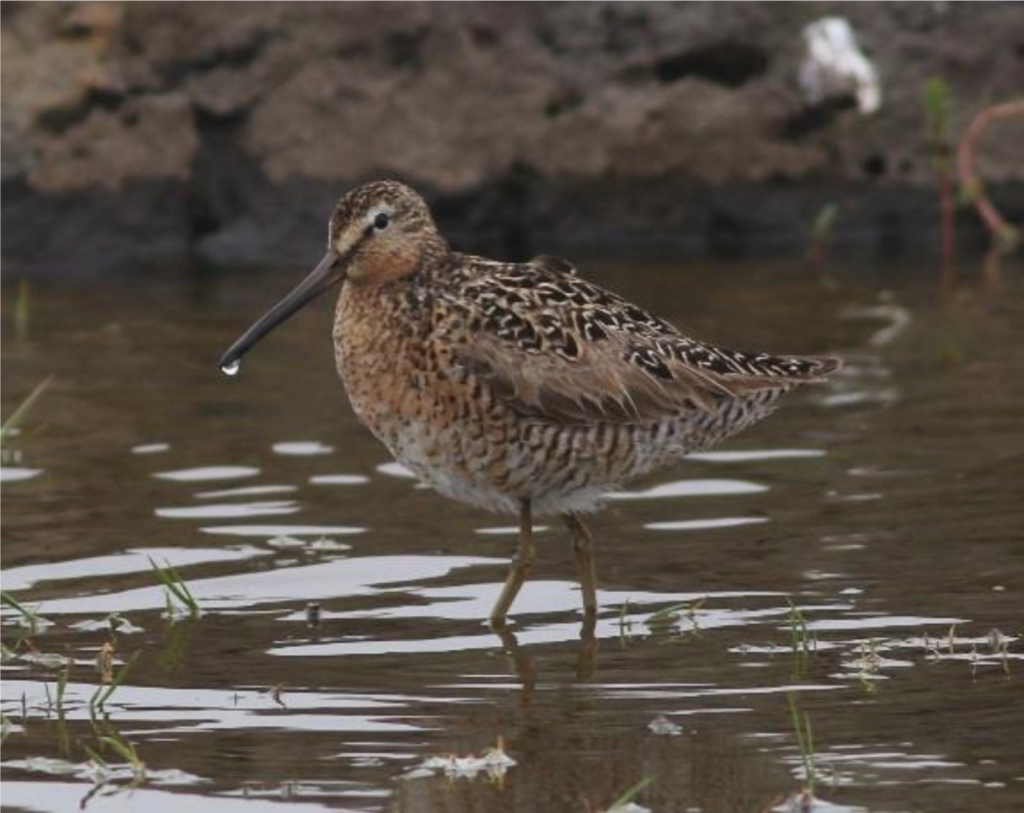 Short billed Dowitcher by Scott Schuette 1024x813 - Short-billed Dowitcher