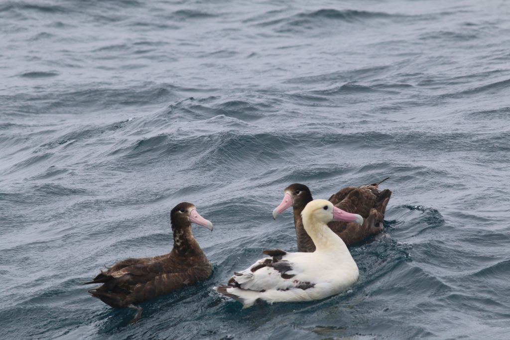 Short tailed Albatross by Scott Schuette 1024x683 - Short-tailed Albatross
