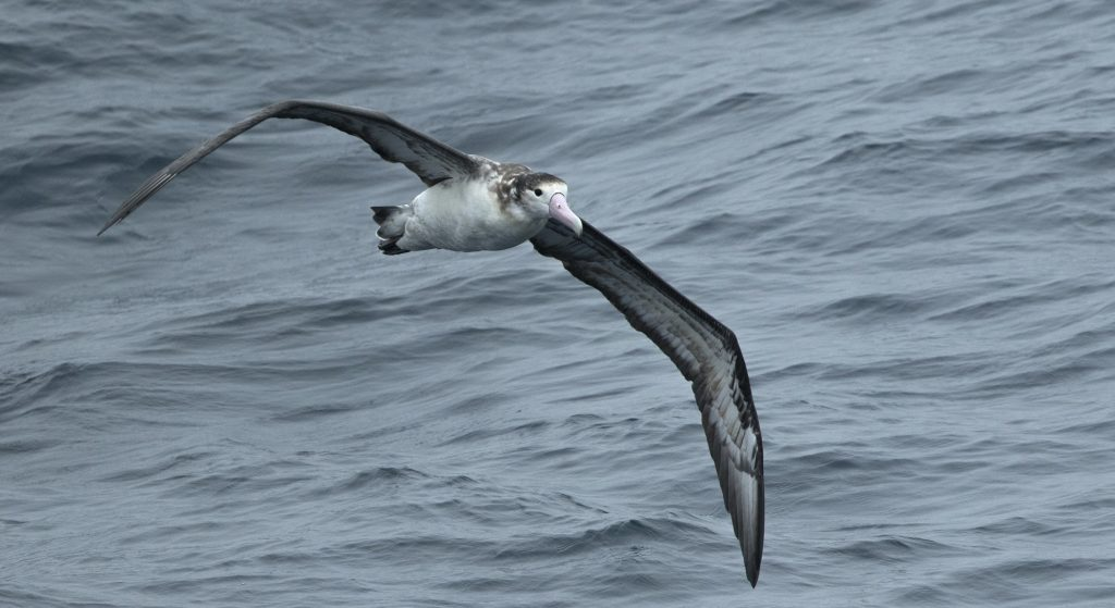 Short tailed Albatross by Zak Pohlen 1024x559 - Short-tailed Albatross