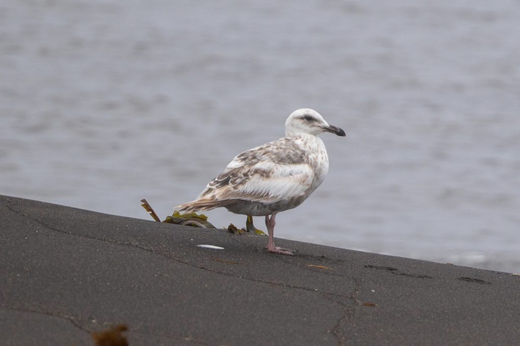 Slaty backed Gull 2 by Cory Gregory 1024x683 - Slaty-backed Gull