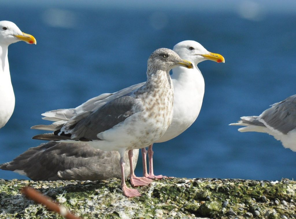 Slaty backed Gull 2 by Ryan P. ODonnell 1024x757 - Slaty-backed Gull