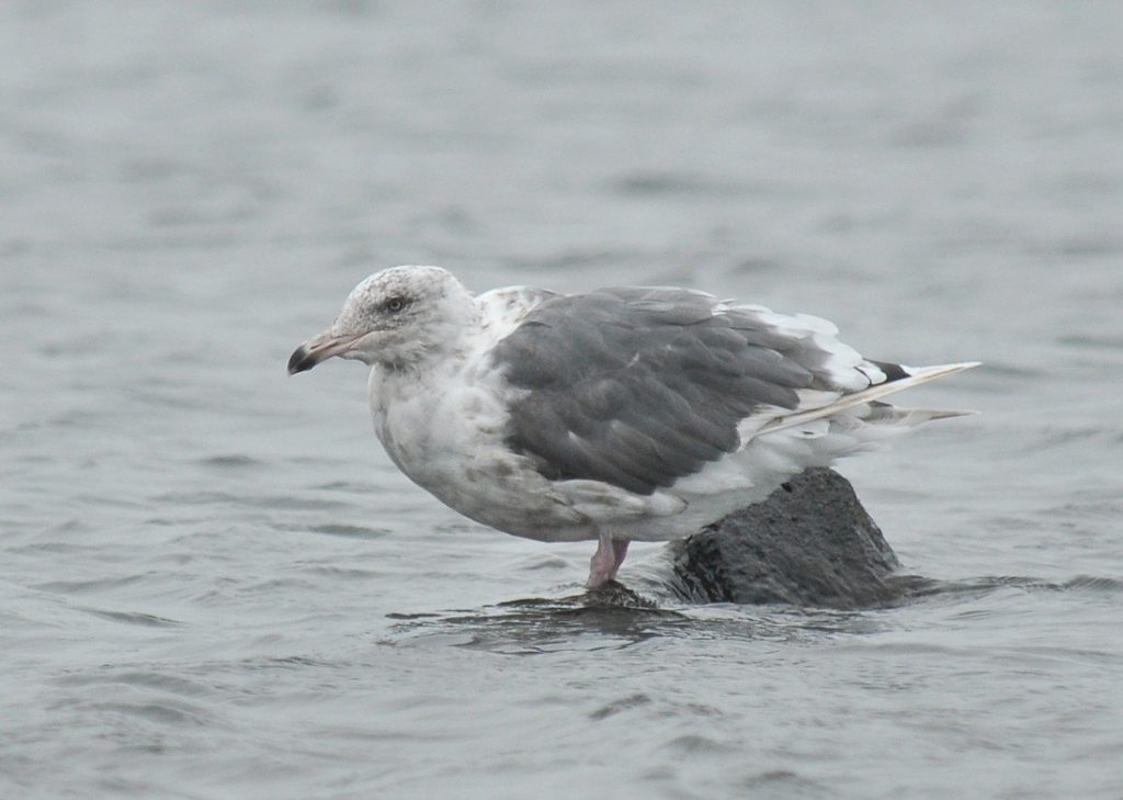 Slaty backed Gull 3 by Ryan P. ODonnell 1024x729 - Slaty-backed Gull