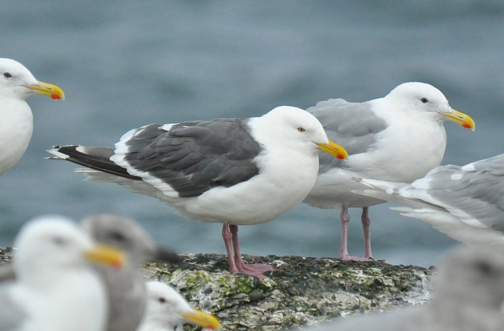 Slaty backed Gull by Ryan P. ODonnell 1024x672 - Slaty-backed Gull
