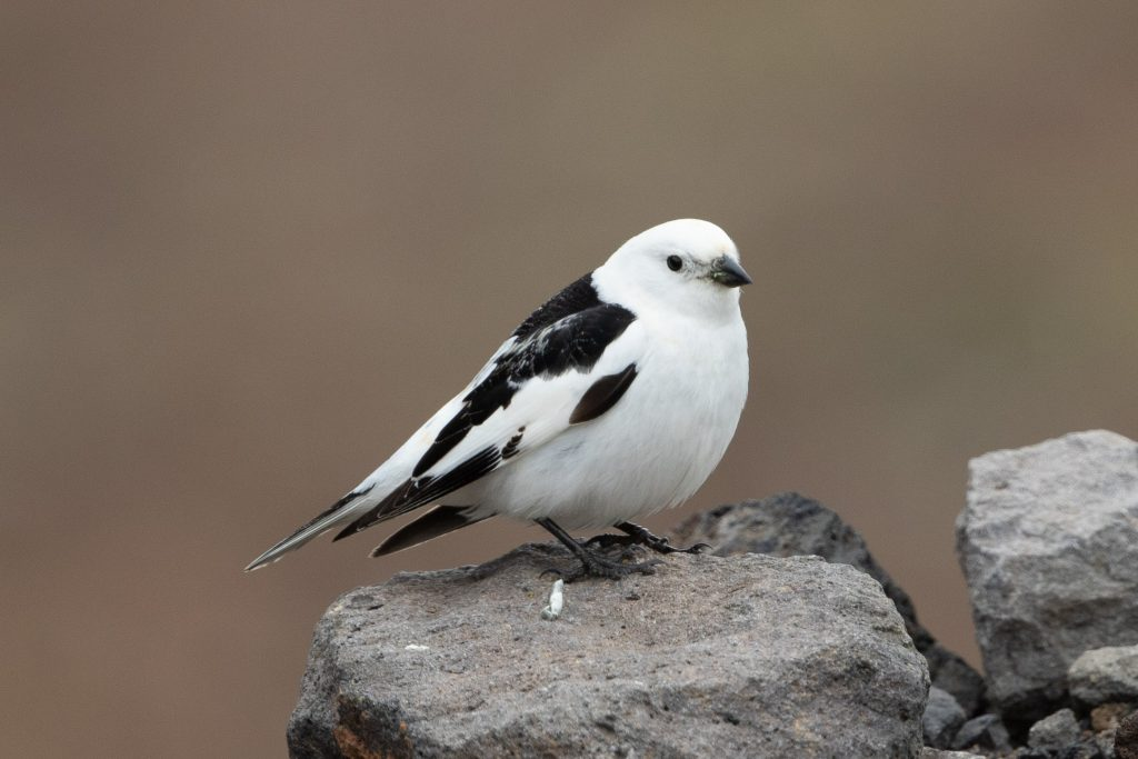 Snow Bunting by Cory Gregory 1024x683 - Snow Bunting