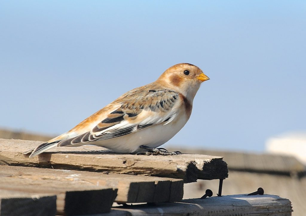 Snow Bunting by Gil Ewing 1024x723 - Snow Bunting
