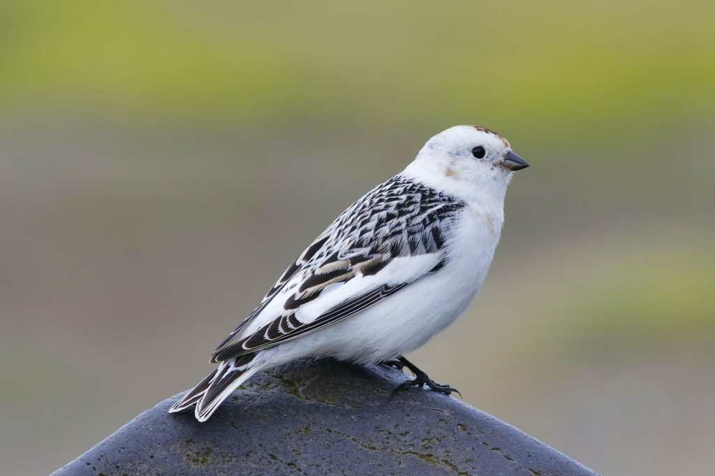 Snow Bunting by Phil Chaon 1024x681 - Snow Bunting