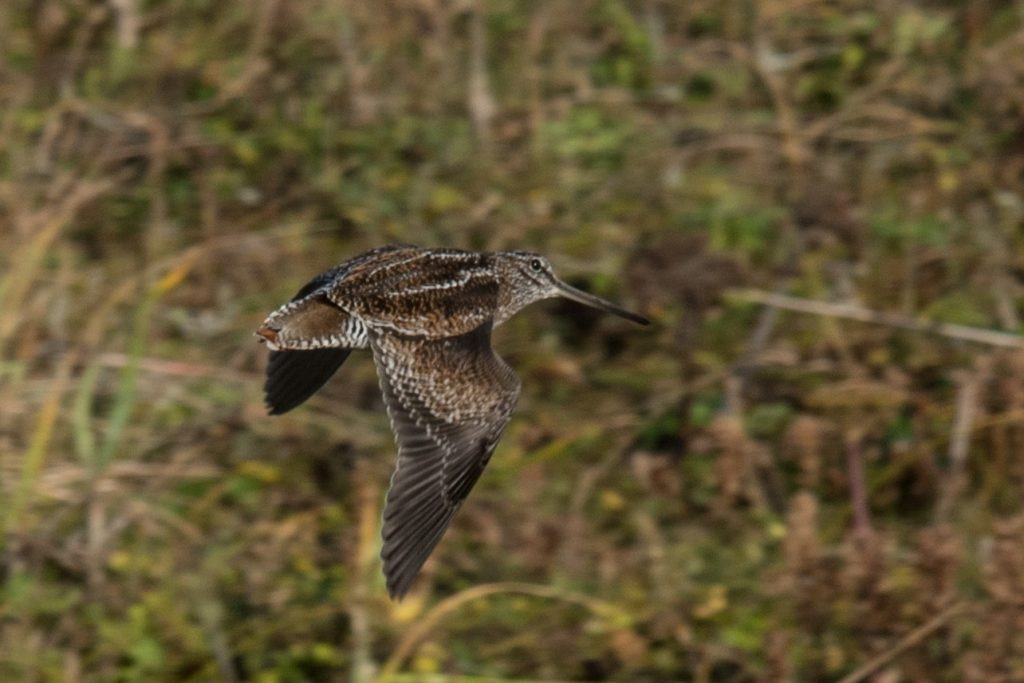 Solitary Snipe by Aaron Lang 1024x683 - Solitary Snipe