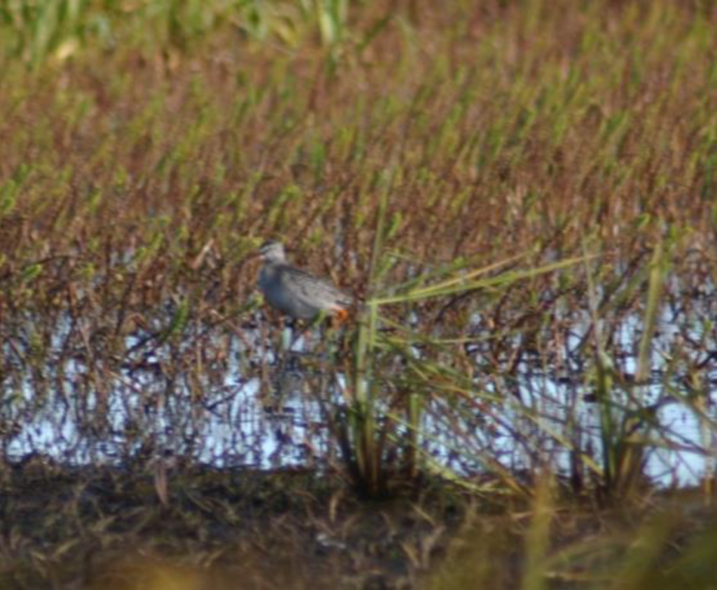 Spotted Redshank by Gavin Bieber 1024x843 - Spotted Redshank