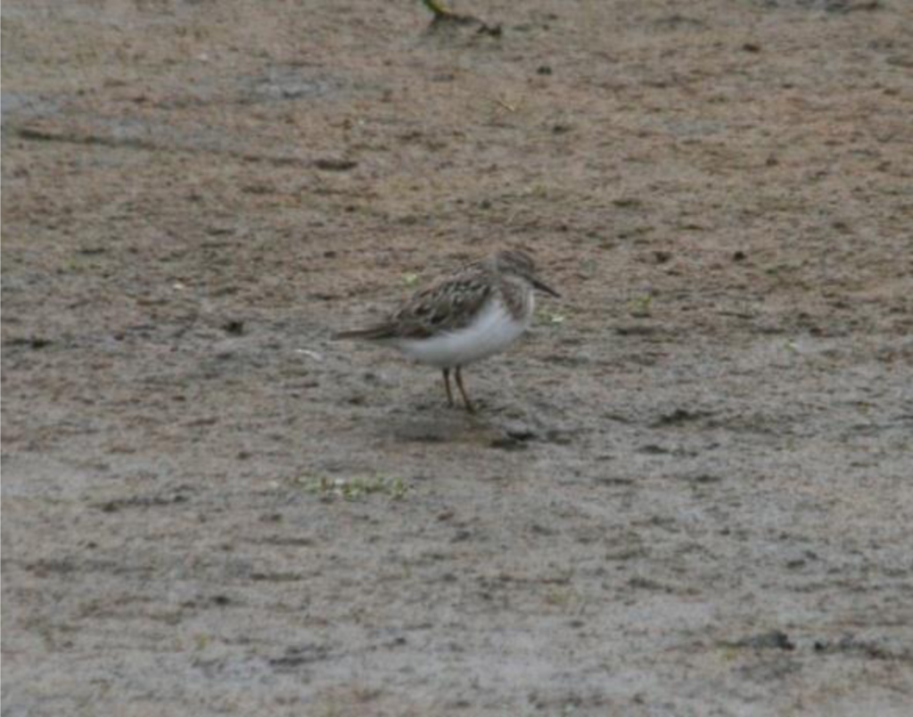 Temmincks Stint by Scott Schuette 1024x804 - Temminck's Stint