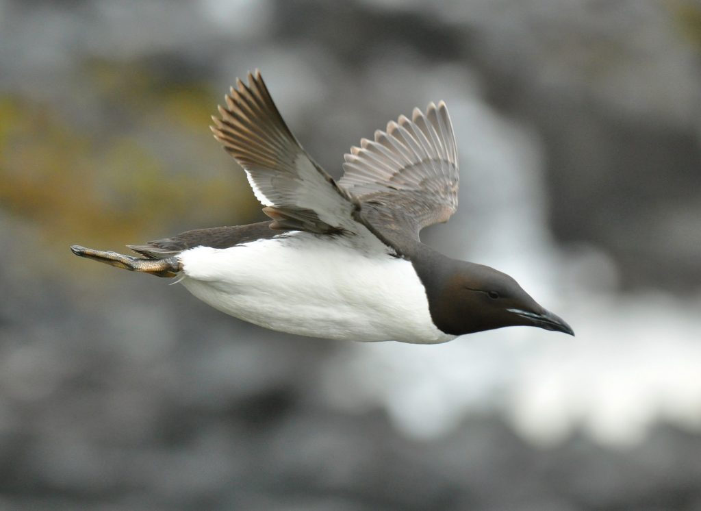 Thick billed Murre by Ryan P. ODonnell 1024x746 - Thick-billed Murre
