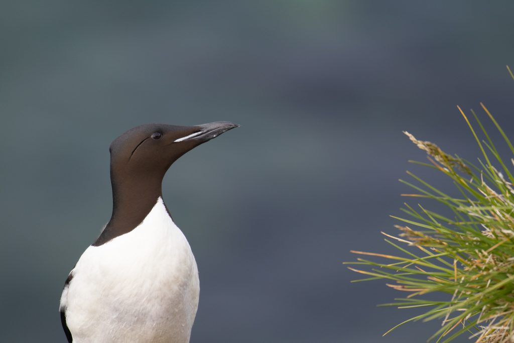 Thick billed Murre by Sulli Gibson 1024x683 - Thick-billed Murre