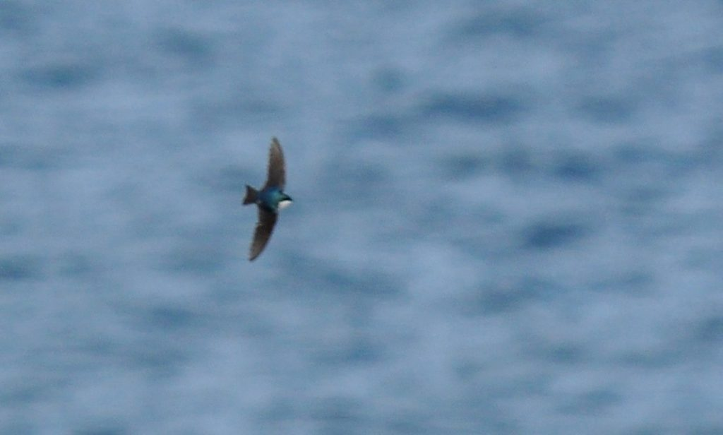 Tree Swallow by Ryan P. ODonnell 1024x616 - Tree Swallow