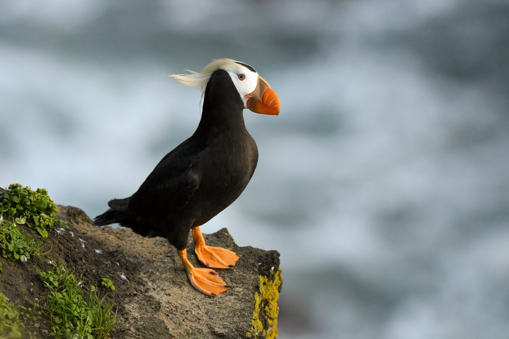 Tufted Puffin by Kathie ONeil 1024x683 - Tufted Puffin