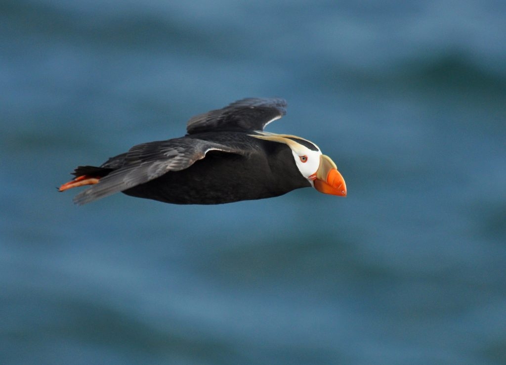 Tufted Puffin by Ryan P. ODonnell 1024x738 - Tufted Puffin