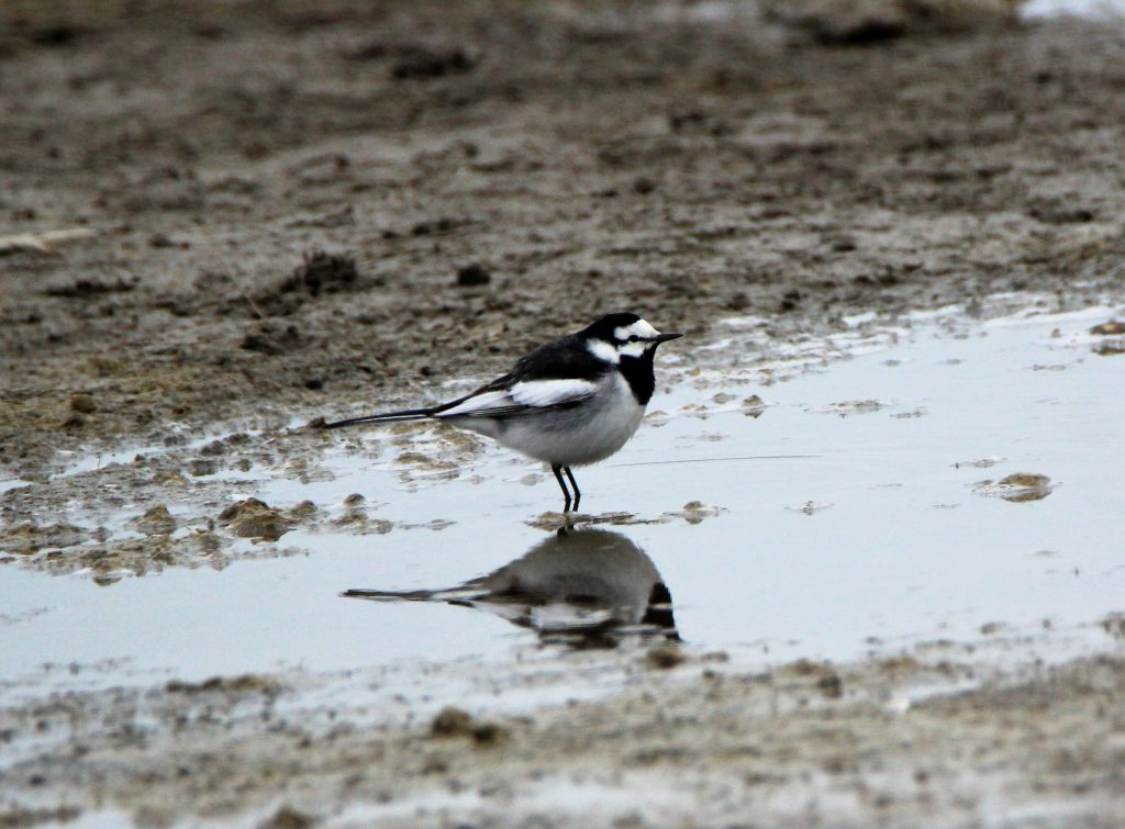 White Wagtail by Jim de Waal Malefyt 1024x755 - White Wagtail