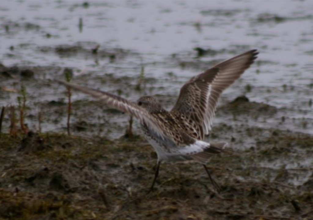 White rumped Sandpiper by Forrest Rowland 1024x722 - White-rumped Sandpiper