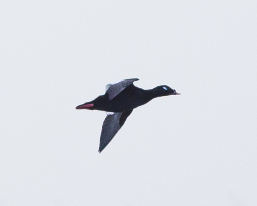 White winged Scoter by Doug Gochfeld - White-winged Scoter