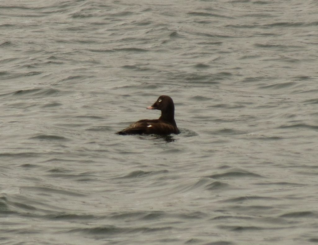 White winged Scoter by Nat Drumheller 1024x790 - White-winged Scoter