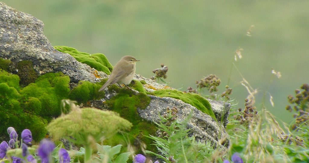 Willow Warbler 2 by Doug Gochfeld 1024x539 - Willow Warbler