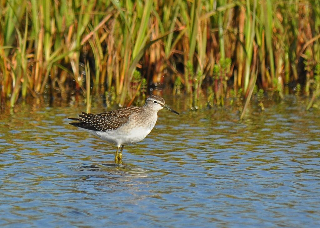 Wood Sandpiper by Ryan P. ODonnell 1024x730 - Wood Sandpiper