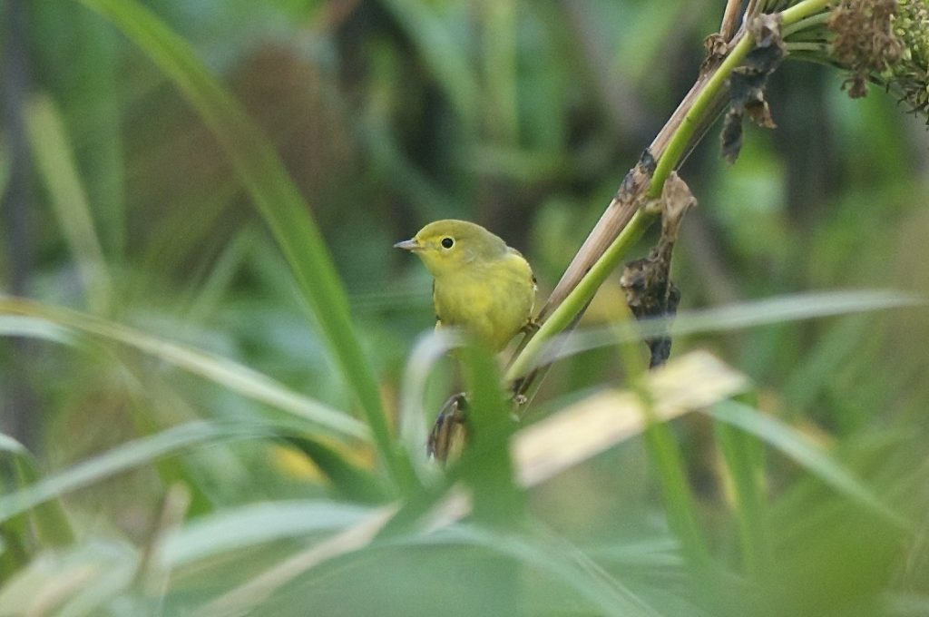 Yellow Warbler by Cory Gregory 1024x680 - Yellow Warbler