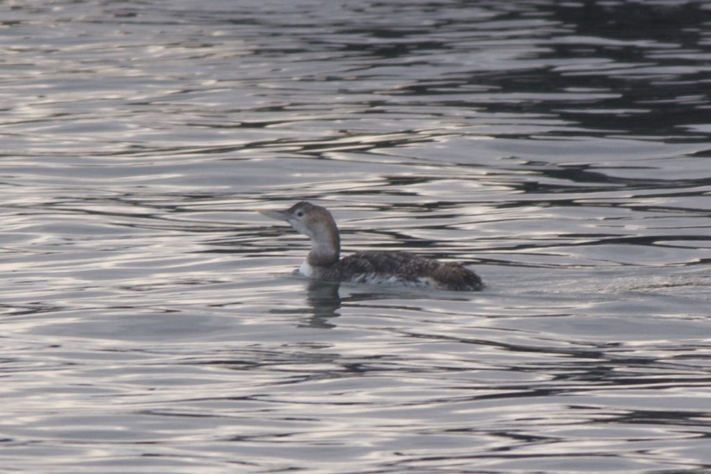 Yellow billed Loon by Cory Gregory 1024x683 - Yellow-billed Loon