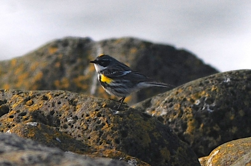 Yellow rumped Warbler by Cory Gregory - Yellow-rumped Warbler